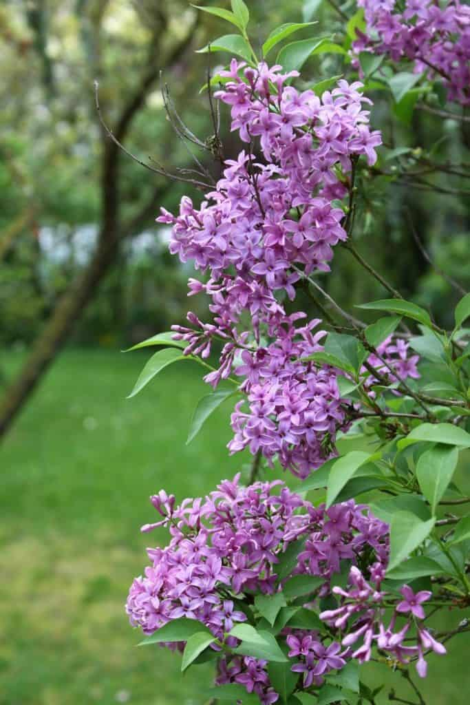 Are you wondering about lilacs and landscaping? We have five or six lilac trees on our property. They've been here for years and I love the color and the scent